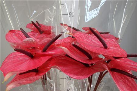 <h4>Anthurium A Candy</h4>