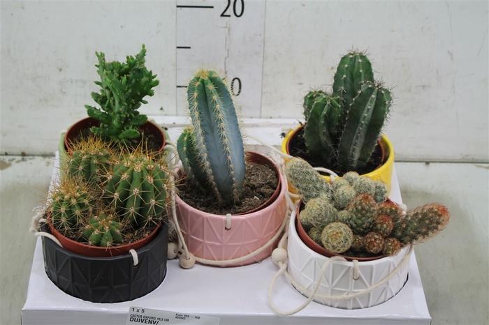 <h4>Cactus Gemengd Oxford Hang Keramiek</h4>