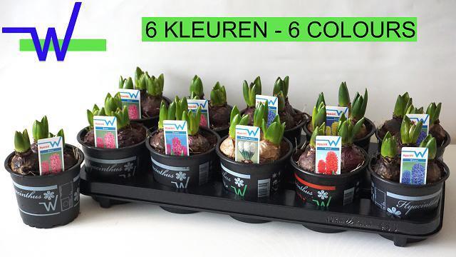 <h4>Hyacin Gem 6 Kl</h4>