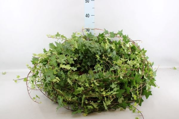 <h4>Hedera helix 'Pittsburgh'</h4>