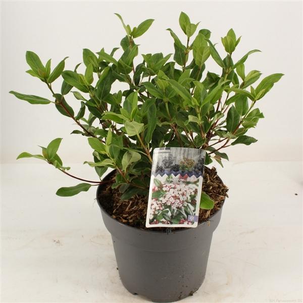 <h4>Viburnum tinus 'Gwenllian'</h4>