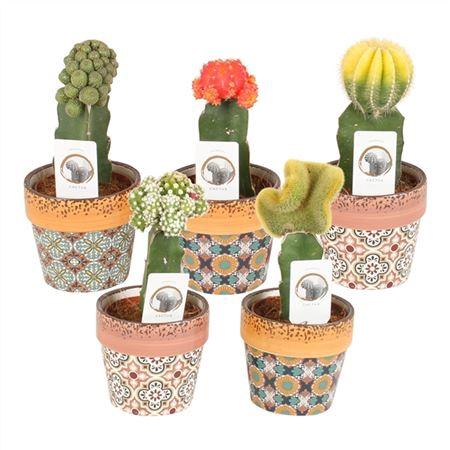 <h4>Cactus A48500182 Gymno Gemengd Keramiek Mosaic</h4>