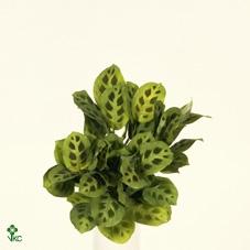 <h4>Maranta Green Stripe 6 18cm</h4>