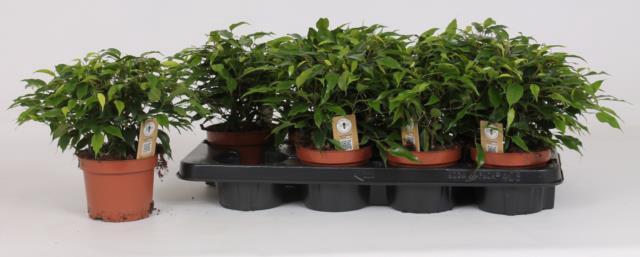<h4>Ficus green Kinky 12Ø 30cm</h4>