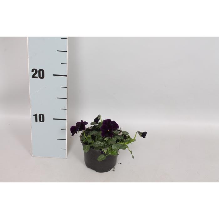 <h4>Viola cornuta sixpack F1 Black</h4>
