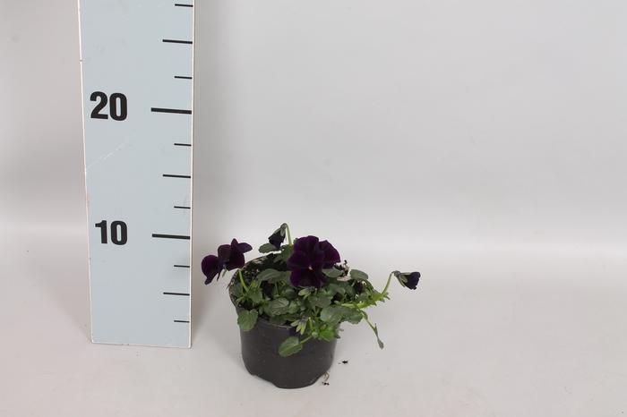 <h4>Viola cornuta F1 Black</h4>