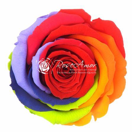 <h4>30cm Stem Rainbow Red02</h4>