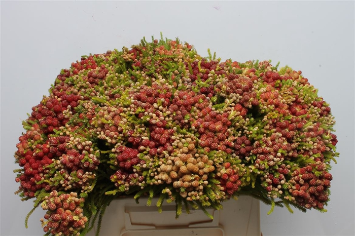 <h4>Kaaps Berzelia Strawberry</h4>