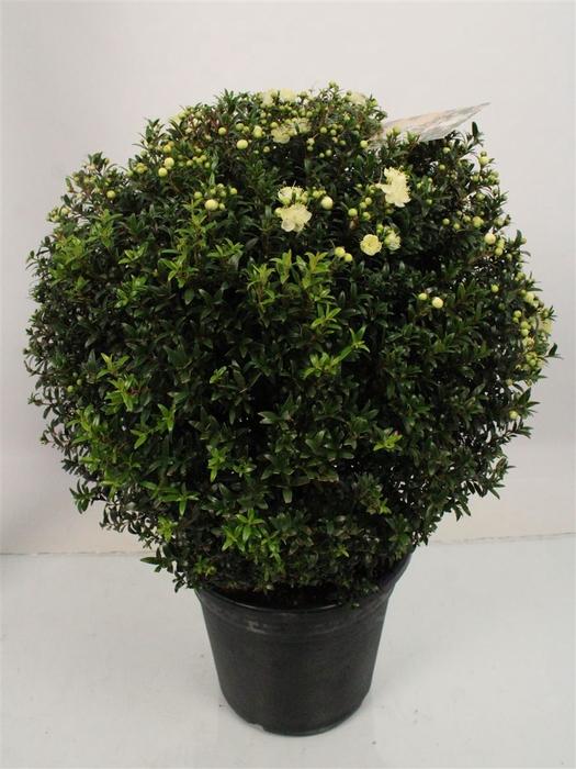 <h4>Myrtus Communis Bush</h4>