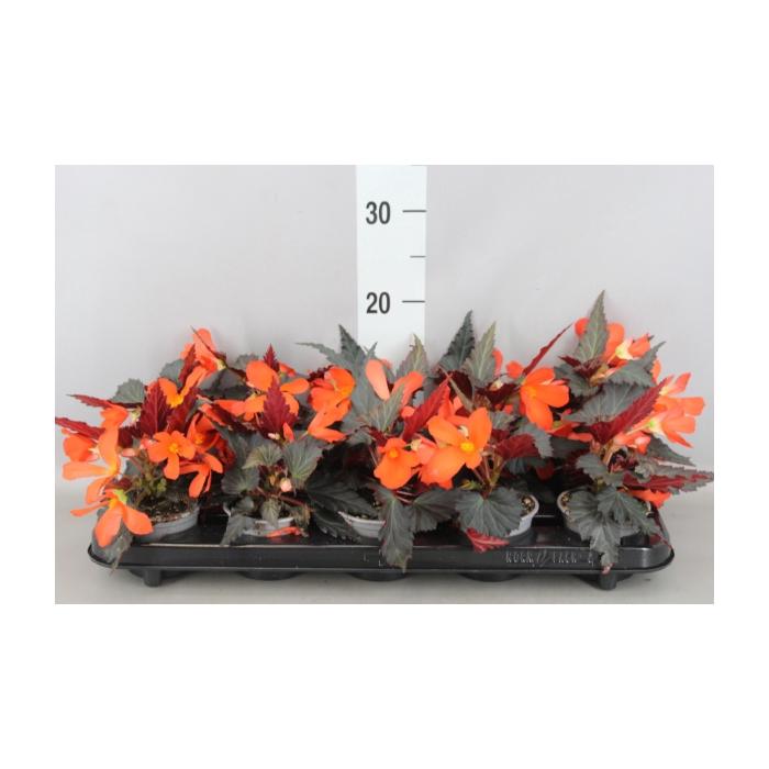 <h4>Begonia  'I Conia Upright Fire'</h4>