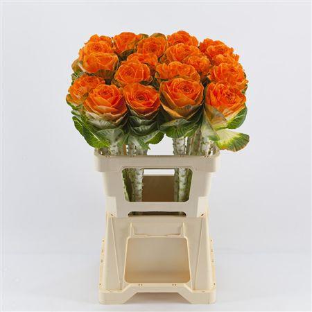 <h4>Brassica Orange</h4>