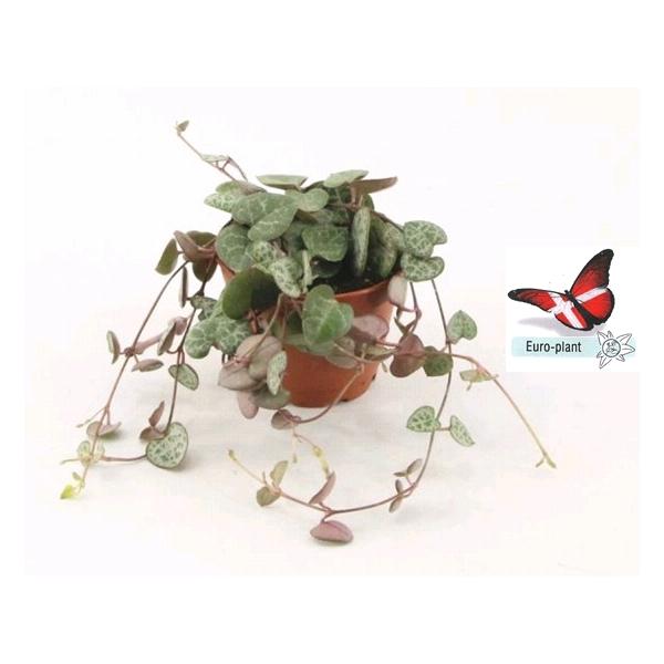 <h4>Ceropegia woodii ssp. woodii</h4>