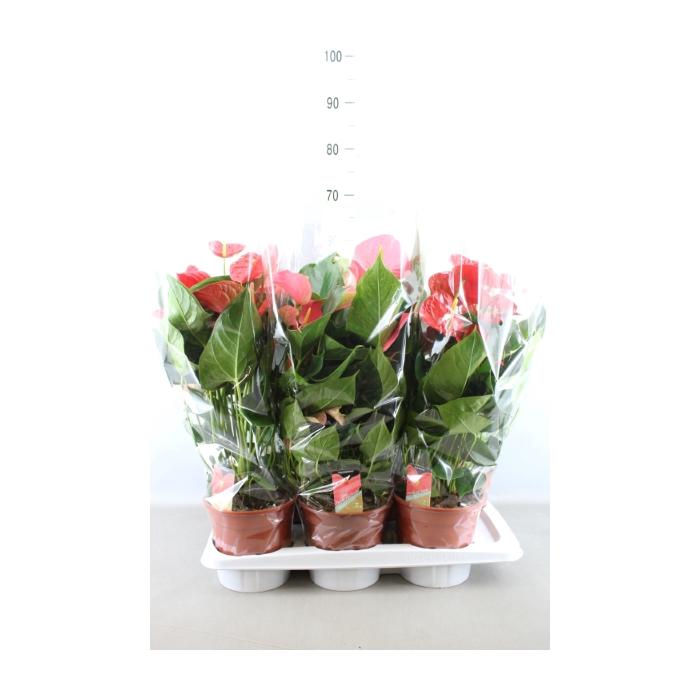 <h4>Anthurium   ...mix 4</h4>