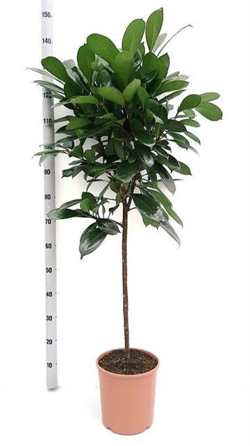<h4>Ficus Cyathistipula 24Ø 130cm</h4>