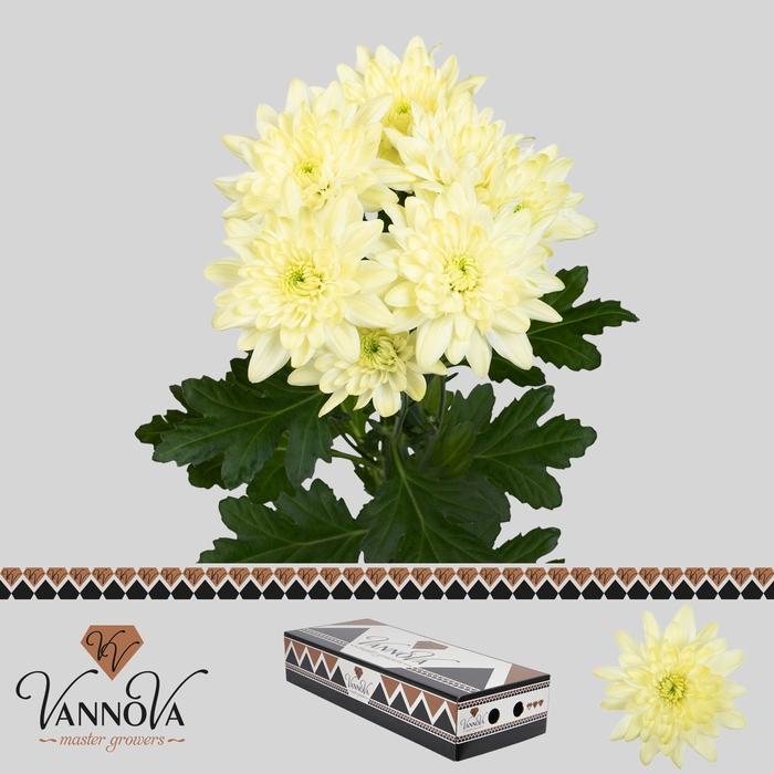 <h4>Chrysanthemum TR 'Pina Colada Crea'</h4>
