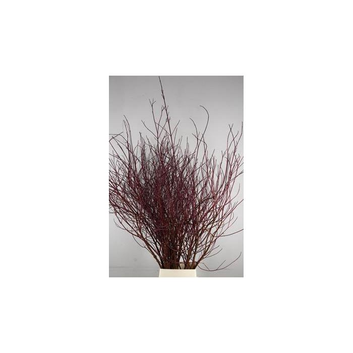 <h4>Cornus Rood Vertakt 150-180 Cm</h4>