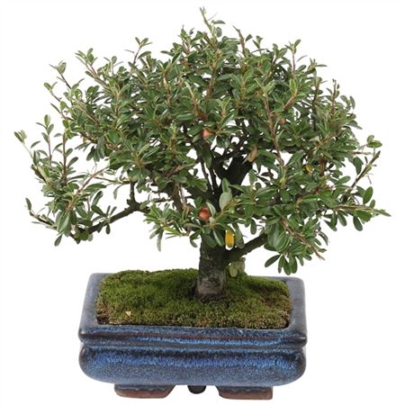 <h4>Bonsai Outdoor Deluxe Cotoneaster Microphylla Ø15c</h4>