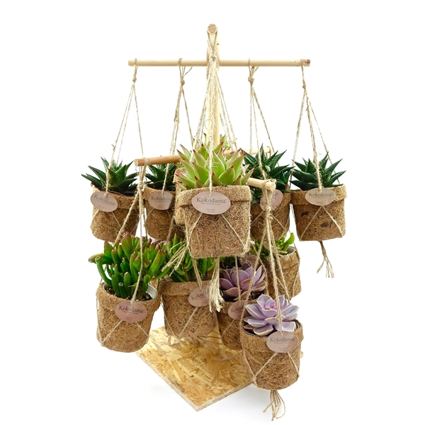 <h4>Kokopot display 60 cm succulent    NO PLASTIC 100% natural</h4>