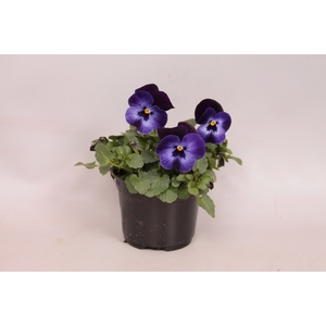 Viola cornuta F1 Denim Jump Up