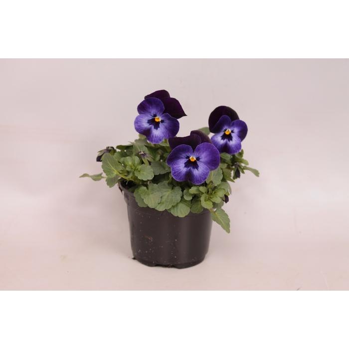 <h4>Viola cornuta F1 Denim Jump Up</h4>