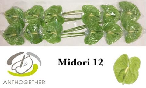 <h4>Anthurium andr. 'Midori'</h4>