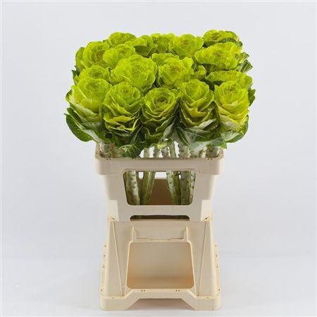 <h4>Brassica Mint</h4>