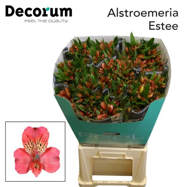 <h4>Alstroemeria Estee</h4>