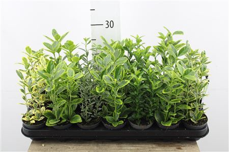 <h4>Euonymus Japonicus Mixed</h4>