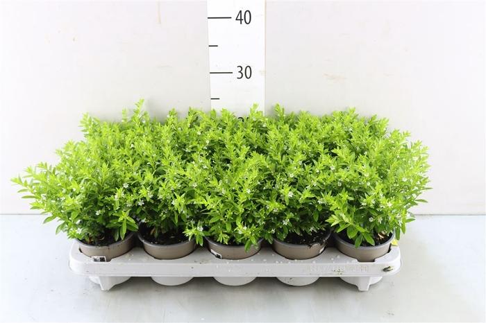 <h4>Cuphea hyssopifolia   wit</h4>