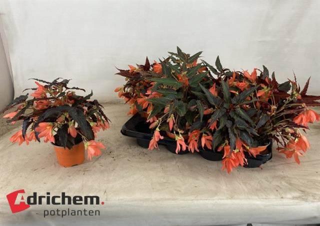 <h4>Begonia Bona Orange</h4>