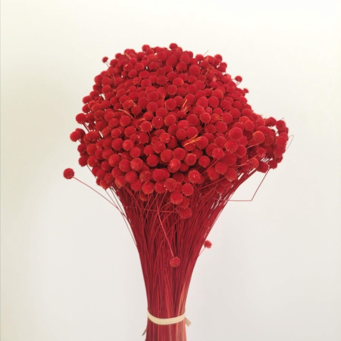 <h4>Boton mini rojo preservado (50 cm)</h4>
