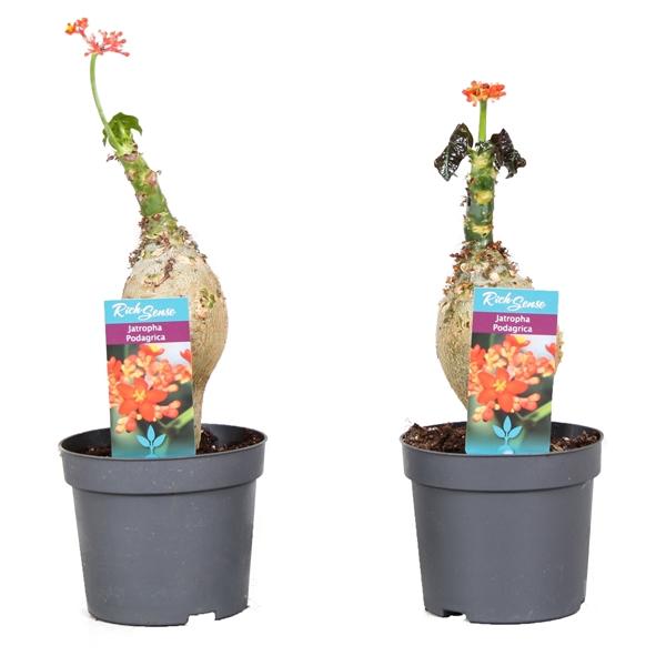 <h4>Jatropha podagrica</h4>