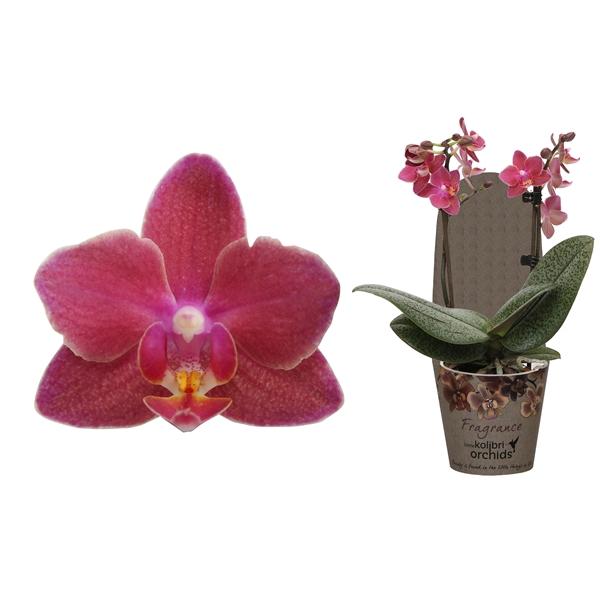 <h4>Phalaenopsis mf. pink</h4>