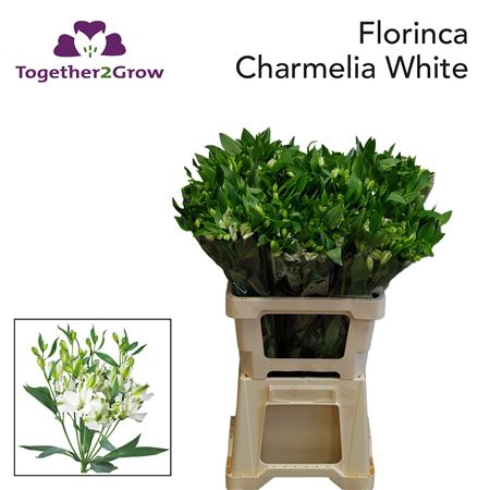 <h4>FLOR CHARMELIA WHITE</h4>