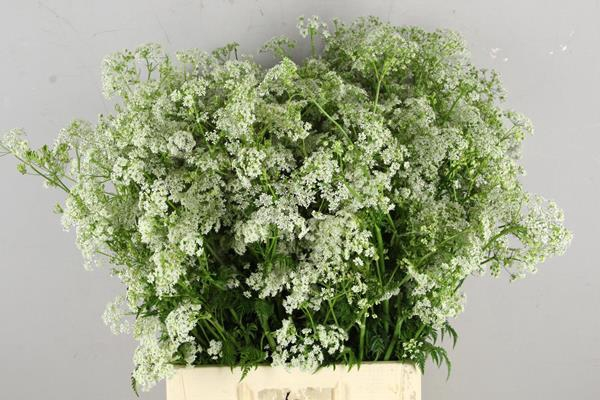 <h4>Anthriscus Sylvestris Wit</h4>