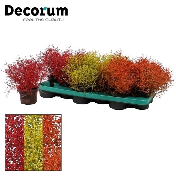 <h4>Calocephalus Specialz® Autumn (Decorum)</h4>