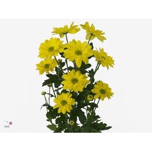 Chrysanthemum spray bacardi amarilla