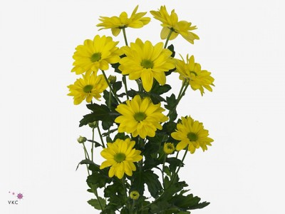 <h4>Chrysanthemum spray bacardi amarilla</h4>