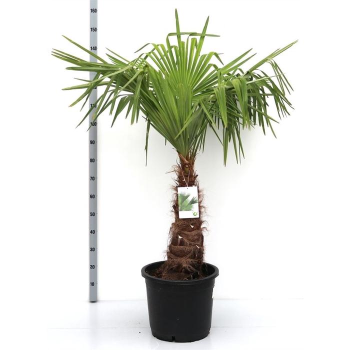 <h4>Trachycarpus fortunei 60/80</h4>