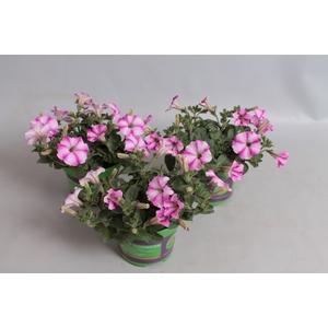 Petunia Sel Famous Raspberry Star