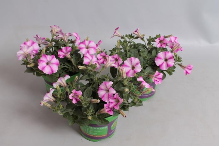 <h4>Petunia Sel Famous Raspberry Star</h4>