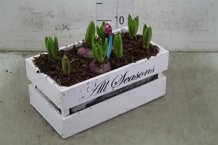 <h4>Arr Hyacinth In Houten Kist Wit 8pp</h4>