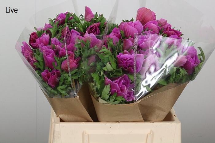 <h4>Anemone Mistral Plus Orchid</h4>