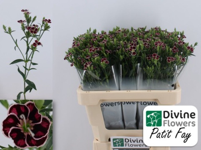 <h4>Dianthus Raffine Petit Faye</h4>