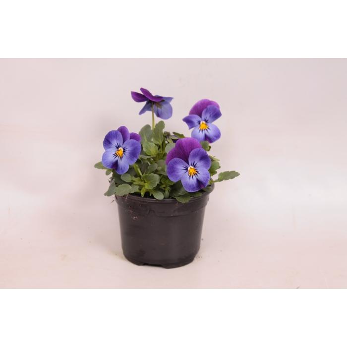 <h4>Viola cornuta sixpack F1 Deltini Violet Blue</h4>