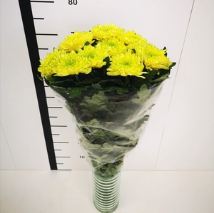 Chrysanthemum monoflor zembla amarillo verde