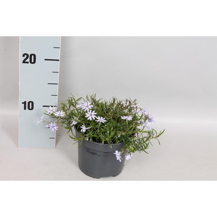 <h4>vaste planten 12 cm Phlox fabulous blue</h4>