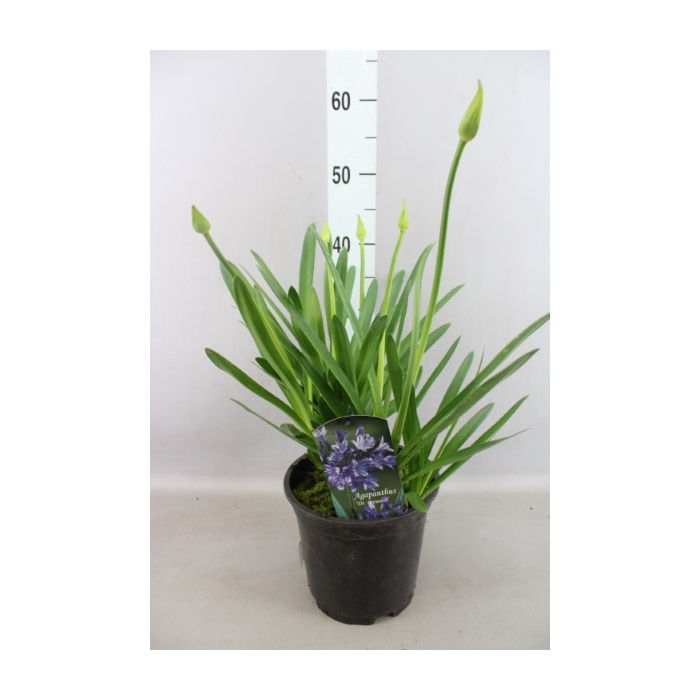 <h4>Agapanthus TR 'Dr. Brouwer'</h4>