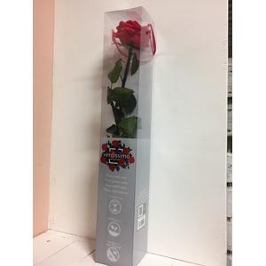 Roos op steel xl Plexi 55cm Dark pink