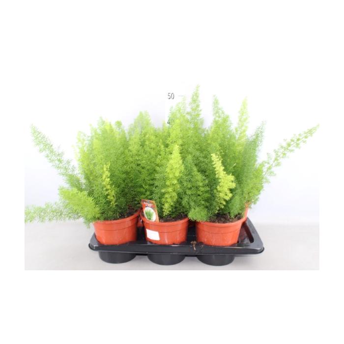 <h4>Asparagus dens. 'Meyers'</h4>